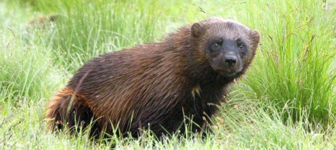 One of the Most Elusive Animals Found in Yellowstone National Park Has Been Caught on Camera for the First Time